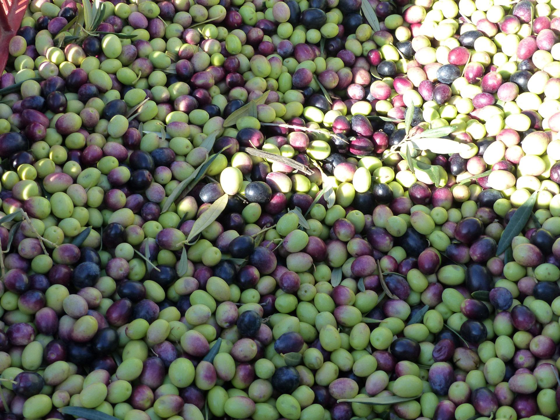 Récolte des olives du Domaine Lupia