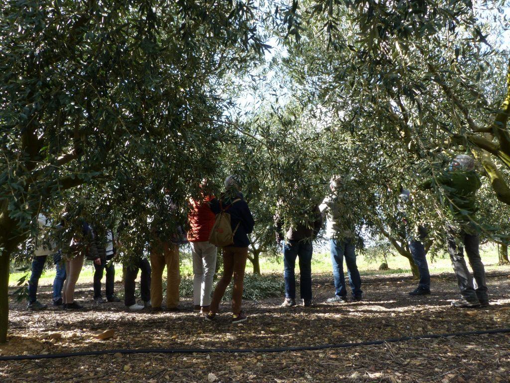 Groupe taille d'olivier en 2021 à Sérignan