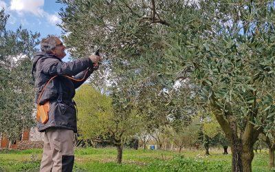 Initiation à la taille de l'olivier